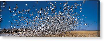 Flock Of Geese Canvas Print - Flock Of Snow Geese Chen Caerulescens by Panoramic Images
