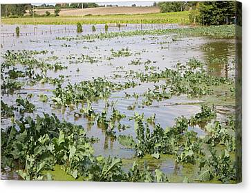 Flooded Crops Canvas Print by Ashley Cooper
