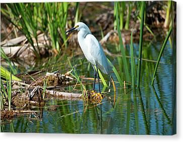 Florida, Immokalee, Snowy Egret Hunting Canvas Print by Bernard Friel