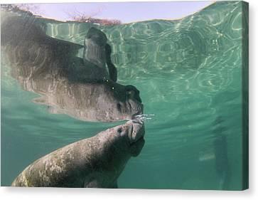 Florida Manatee Taking Air At Surface Canvas Print by Michael Szoenyi