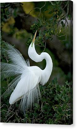 Florida, St Augustine Great Egret Canvas Print by Jaynes Gallery