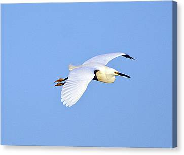 Florida, Venice, Snowy Egret Flying Canvas Print by Bernard Friel