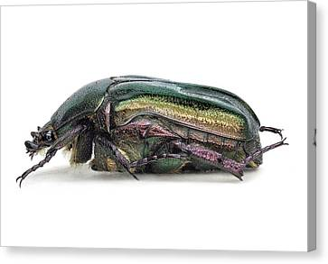 Cut-outs Canvas Print - Flower Chafer by F. Martinez Clavel