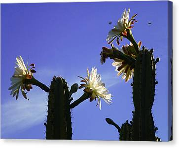 Flowering Cactus 4 Canvas Print