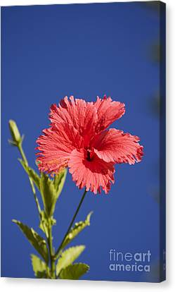Flowering Hibiscus Canvas Print by Jorgo Photography - Wall Art Gallery