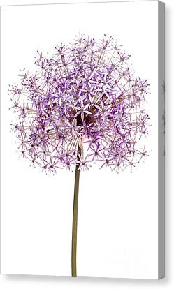 Alliums Canvas Print - Flowering Onion by Elena Elisseeva