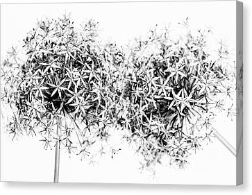 Flowering Onions Canvas Print by Elena Elisseeva