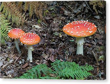 Toadstools Canvas Print - Fly Agaric Fungus by Nigel Downer