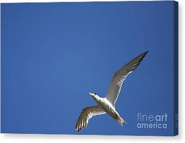 Flying Crested Tern Canvas Print