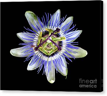 Canvas Print featuring the photograph Fly's Passion by Jennie Breeze
