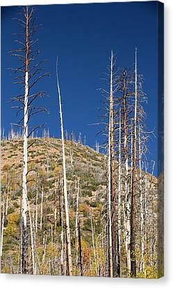 Forest Destroyed By Wild Fires Canvas Print by Ashley Cooper