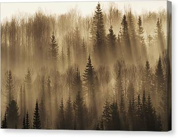 Forest Of Spruce Trees With Mist At Canvas Print by Philippe Henry