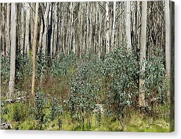Forest Regeneration After Bushfire Canvas Print by Dr Jeremy Burgess