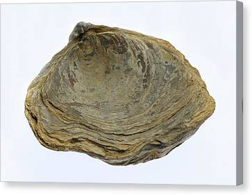 Fossilised Extinct Jurassic Oyster Canvas Print by Sinclair Stammers