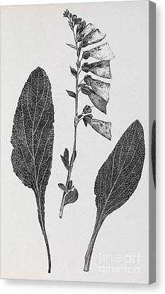 Foxglove, 19th Century Artwork Canvas Print by Middle Temple Library