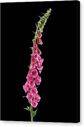Foxglove (digitalis Purpurea) Canvas Print by Gilles Mermet