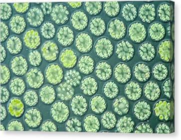 Algal Canvas Print - Freshwater Algal Bloom by Gerd Guenther