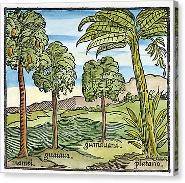 Fruit Trees Of Hispaniola Canvas Print