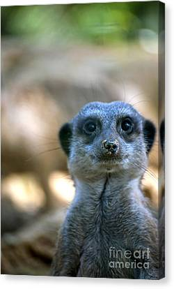 Funny Meerkat Canvas Print by Design Windmill