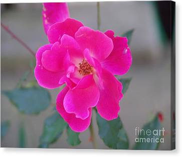 Fushia Knockout Rose 2 Canvas Print by Rod Ismay