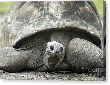 Galapagos Tortoise Canvas Print by Mark Newman