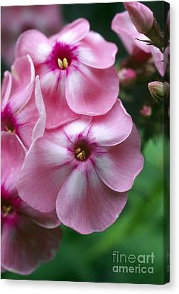 Garden Phlox Flowers Phlox Paniculata Canvas Print