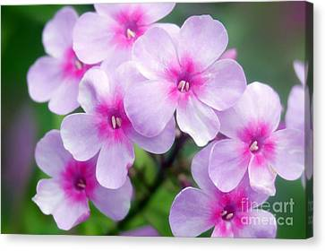 Garden Phlox Phlox Paniculata Canvas Print