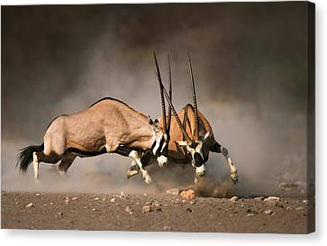 Gemsbok Fight Canvas Print by Johan Swanepoel