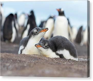 Gentoo Penguin (pygoscelis Papua Canvas Print by Martin Zwick