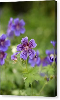 Macro Geranium Flower Canvas Print - Geranium Himalayense by Frank Tschakert