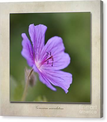 Macro Geranium Flower Canvas Print - Geranium Maculatum by John Edwards