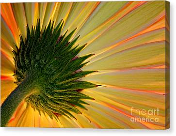 Gerbera Fire Canvas Print