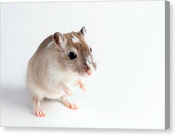 Gerbil Canvas Print - Gerbil Gerbillinae by David Kenny