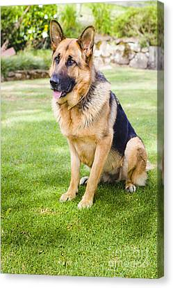 German Shepherd Dog Learning Obedience Training Canvas Print by Jorgo Photography - Wall Art Gallery