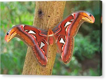 Giant Atlas Moth Canvas Print by Nigel Downer