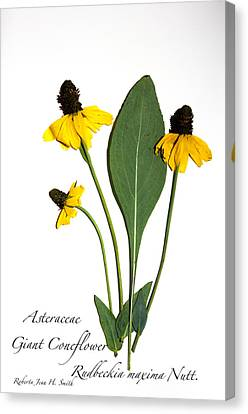 Giant Coneflower Canvas Print
