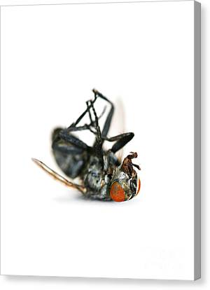 Unconscious Canvas Print - Giant Dead Fly by Jorgo Photography - Wall Art Gallery