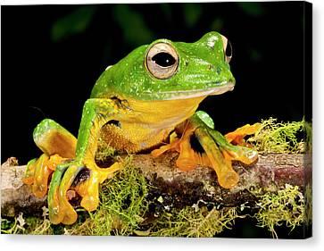 Giant Gliding Treefrog, Polypedates Kio Canvas Print by David Northcott