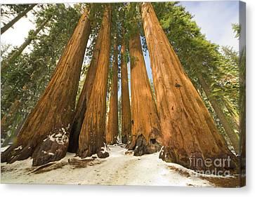 Giant Sequoia Canvas Print - Giant Sequoias Sequoia N P by Yva Momatiuk John Eastcott