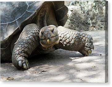Giant Tortoise In Highlands Of Floreana Canvas Print by Diane Johnson