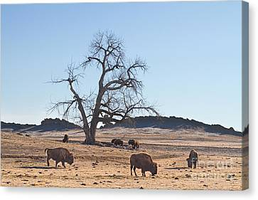 Bison Canvas Print - Give Me A Home Where The Buffalo Roam by James BO  Insogna