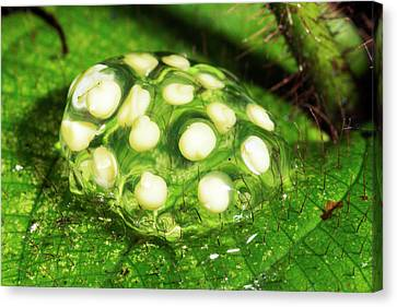 Glass-frog Eggs Canvas Print by Dr Morley Read