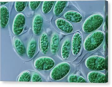 Glaucocystis Algae Canvas Print by Gerd Guenther