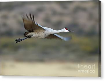 Gliding By Sandhill Crane  Canvas Print