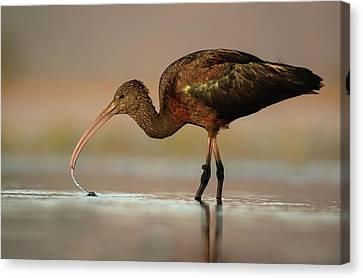 Glossy Ibis Feeding On Freshwater Snails Canvas Print by Tony Camacho