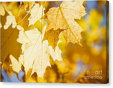 Glowing Fall Maple Leaves Canvas Print by Elena Elisseeva