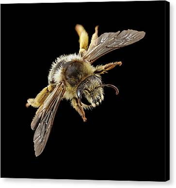 Gold-tailed Melitta Bee Canvas Print by Us Geological Survey