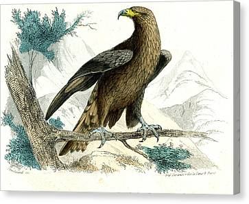 Golden Eagle Canvas Print by Collection Abecasis