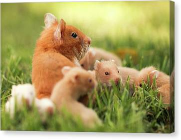 Golden Hamster With Young Canvas Print by Photostock-israel