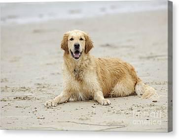Golden Retrievers On Canvas Print - Golden Retriever At Beach by John Daniels